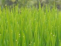 Rugiada di mattina nel tempo di alba del giacimento del riso Fotografia Stock