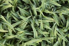 Rugiada di mattina su alta erba fotografia stock