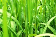Rugiada di mattina su bambù Fotografie Stock