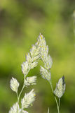 Rugiada di mattina su erba selvatica Immagini Stock