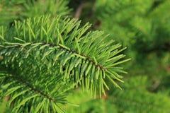 Rugiada di mattina sugli aghi del pino. Immagine Stock