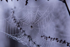 Rugiada di mattina sul Web di ragno Immagine Stock
