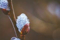 Rugiada di mattina sull'albero di salice Immagine Stock