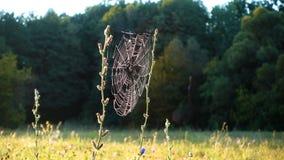 Rugiada di mattina sulla ragnatela, prato nella foresta video d archivio