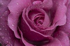 Rugiada di mattina sulla rosa di rosa Immagini Stock Libere da Diritti