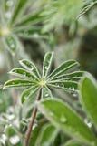 Rugiada di mattina sulle foglie del lupino Immagini Stock