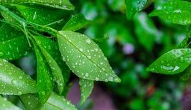 Rugiada di mattina sulle foglie della calce fotografie stock libere da diritti