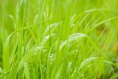 Rugiada di mattina sulle lame di erba durante l'alba Immagine Stock
