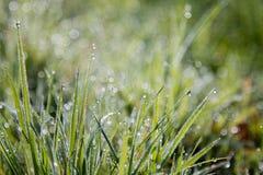 Rugiada di primo mattino su erba nell'Irlandese Medow Immagine Stock