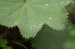 Rugiada di primo mattino sulla foglia verde nell'Hokkaido Immagine Stock Libera da Diritti