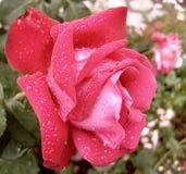 Rugiada di Rosa Fotografia Stock
