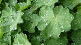 Rugiada dopo pioggia Immagini Stock