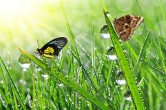 Rugiada e farfalle Fotografia Stock