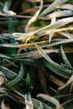 Rugiada e gelo sull'erba fotografia stock