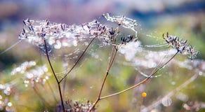 Rugiada e web sulle piante asciutte Immagine Stock Libera da Diritti