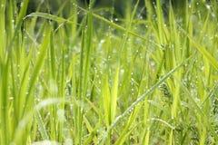 Rugiada fresca di mattina in erba Fotografia Stock Libera da Diritti