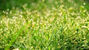 Rugiada fresca di mattina in erba Immagine Stock