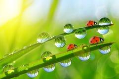 Rugiada fresca di mattina su erba verde e sulle coccinelle Fotografie Stock Libere da Diritti