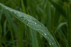Rugiada, gocce di acqua, umidità atmosferica, erba, erba, foraggio verde, foglia verde Fotografia Stock