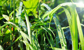 Rugiada nell'erba Immagini Stock
