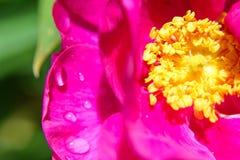 Rugiada Rosa di mattina Immagini Stock Libere da Diritti