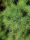 Rugiada sempreverde di mattina degli aghi del pino Immagine Stock