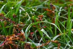Rugiada su erba fertile verde fotografia stock libera da diritti