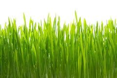 Rugiada su erba su bianco Immagini Stock Libere da Diritti
