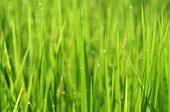 Rugiada su erba verde fresca con le gocce di acqua di mattina in Gre fotografia stock
