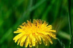 Rugiada su un fiore giallo Fotografia Stock Libera da Diritti