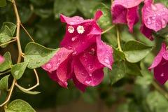 Rugiada su un fiore rosa Immagine Stock Libera da Diritti