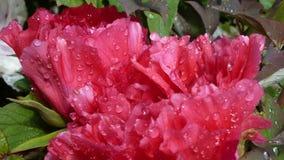 Rugiada sui fiori dentellare Immagine Stock