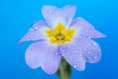 Rugiada sui petali di rosa Fotografia Stock Libera da Diritti