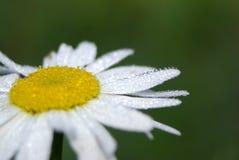 Rugiada sul fiore chammile Immagini Stock