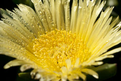 Rugiada sul fiore giallo immagine stock