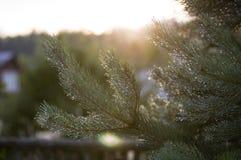 Rugiada sull'albero di pino Fotografia Stock
