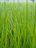 Rugiada sull'azienda agricola del riso nella mattina Fotografia Stock