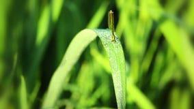 Rugiada sull'erba e sulla libellula Macro archivi video