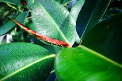 Rugiada sulla pianta dell'albero di gomma Fotografia Stock