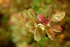 Rugiada sulle foglie Fotografia Stock