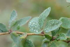 Rugiada sulle foglie del crespino fotografia stock libera da diritti