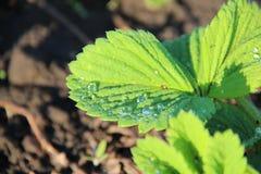 Rugiada sulle foglie della fragola Immagini Stock
