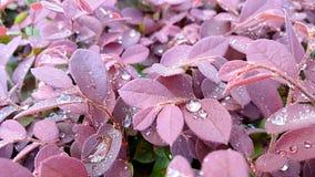 Rugiada sulle foglie rosse fotografia stock