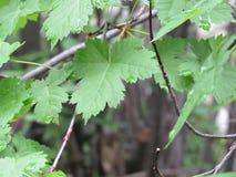Rugiada sulle foglie verdi 2 Fotografie Stock