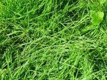 Rugiada viva del prato inglese dell'erba verde del fondo Fotografia Stock