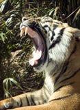 Rugido amplio del tigre imagen de archivo