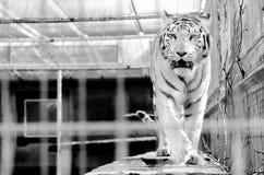 Rugido blanco del tigre en una jaula Imagen de archivo