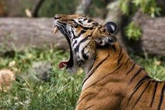 Rugido del tigre Fotografía de archivo libre de regalías