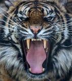 Rugido del tigre de Sumatran Fotografía de archivo
