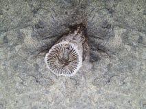 Rugosa或垫铁珊瑚化石 图库摄影